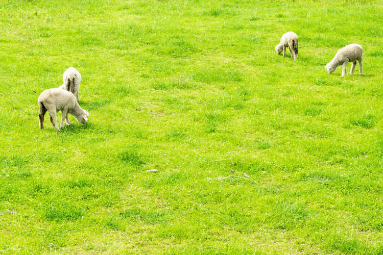 4 young easter lambs on green grass Agriculture Animal Celebration Countryside Countryside Life Enjoying Life Farm Farmland Field First Eyeem Photo Food Fresh Graffiti Grass Growth Hanging Out Happy Lamb Landscape Meat Nature Organic Sheep Spring Tradition