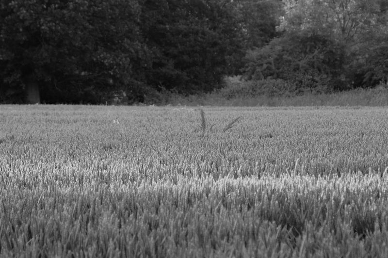 Wheat field. Plant Wheat Wheat Field Field Land Landscape Tree Growth Environment Agriculture Crop  Cereal Plant Blackandwhite vanishing point Sunlight Shadow Silhouette Tranquility Tranquil Scene Nature Beauty In Nature Scenics - Nature Rural Scene Non-urban Scene No People Branch Leaves Flowering Plant Flower Flower Head Day Outdoors Large Group Of Objects High Angle View Selective Focus Full Frame Foliage