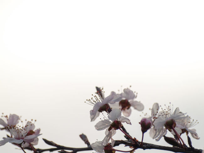 Agriculture Almond Tree Almond Blossom Copy Space Prunus Dulcis Rosaceae Sunlight Beauty In Nature Blooming Blossom Botany Branch Cherry Blossom Clear Sky Close-up Copy Space Day Delicacy Delicate Floral Floral Frame Flower Flower Head Flowering Plant Flowerporn Fragility Frame Freshness Fruit Tree Fruit Tree Blossoms Growth Nature No People Outdoors Petal Plant Plantation Purity Sky Space For Text Spring Springtime Stamen Vulnerability  White Color White Flower