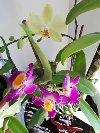 Orhideya Flower