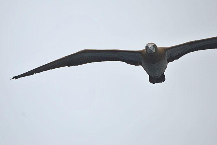 Atobá Wildlife Avesmarinhas Nature Natureza First Eyeem Photo