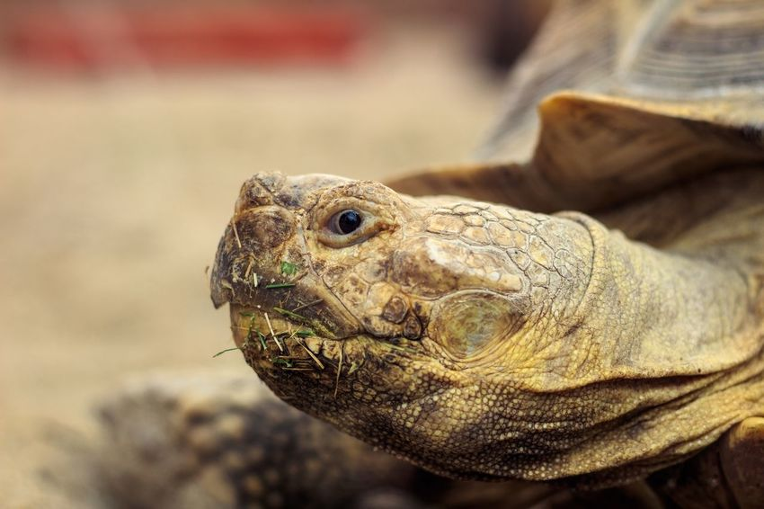 Giant turtle head One Animal Animal Themes Animal Animal Wildlife Reptile Animals In The Wild Vertebrate Close-up Focus On Foreground No People Turtle Animal Head  Day Animal Body Part Nature Outdoors Amphibian Looking Tortoise