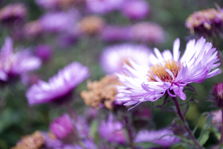 Beauty In Nature Blooming Close-up Day Flower Flower Head Fragility Freshness Growth Nature No People Outdoors Petal Plant Purple Selective Focus