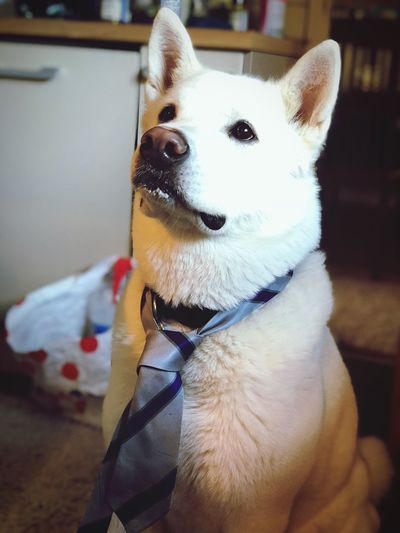 Good Girl🐕👔 Crumbs Cheeky Cheese School Tie Tie White American Akita Akita Dog Domestic Pets Dog Canine Domestic Animals One Animal Mammal Focus On Foreground Home Interior Pet Collar Collar Close-up Looking Away No People Indoors  Looking