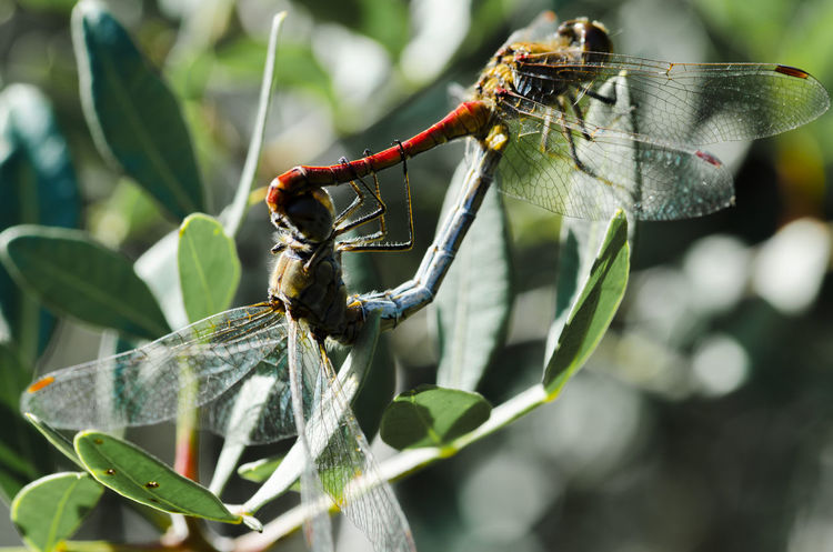 Dragonfly Mating Animal Themes Animal Wildlife Animals In The Wild Close-up Day Dgcphotography Focus On Foreground Insect Insects  Leaf Macro Mating Season Mayfly Nature No People Outdoors Two Animals Macro Insects EyeEmNewHere