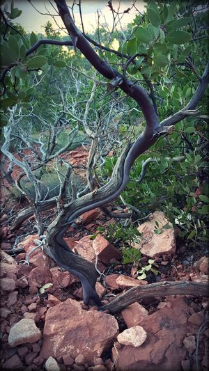 On The Summit Sedona, Arizona Twisted Trees Vortexes Red Rock Beauty In Nature EyeEm EyeEm Best Shots - Nature Textures In Nature Eyeemphotography The KIOMI Collection S6 Nature's Diversities