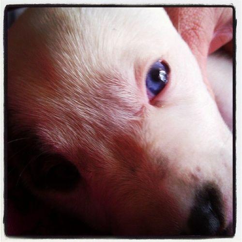 Mygracie Americanbulldogofinstagram Americanbulldogs Puppies Americanbulldogpuppies Ambull Blueeye