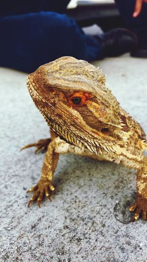 The Homie EyeEmNewHere Animal One Animal Animal Themes Animals In The Wild Animal Wildlife Reptile Lizard Close-up Bearded Dragon No People Focus On Foreground Nature Day Outdoors Vertebrate Animal Body Part Sunlight Natural Pattern First Eyeem Photo EyeEmNewHere