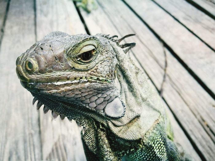 Close-up of iguana on wood