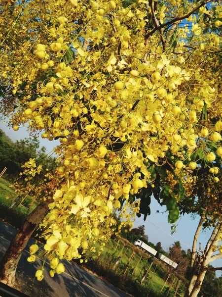 Tree Nature Leaf Autumn Growth Beauty In Nature Outdoors Yellow No People Day Sky Freshness Flower Truck Gloden Shower Yellow Flower