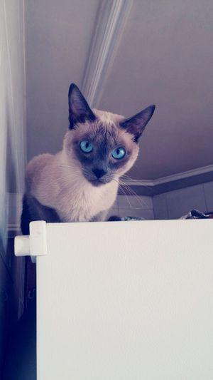 Cat Cats Cat♡ Siamese Siamese Cat Siamesecats Pet Pets Cute Tango