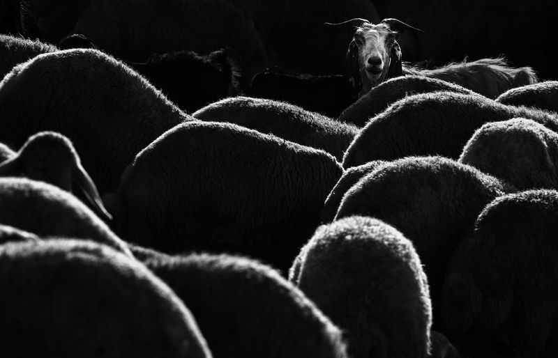 Curiosity Animal Mammal Animal Themes Group Of Animals Domestic Animals No People Nature Portrait Herd Curious Sheep Flock Of Sheep Light Light And Shadow Blackandwhite Pattern Pattern, Texture, Shape And Form Animal Hair