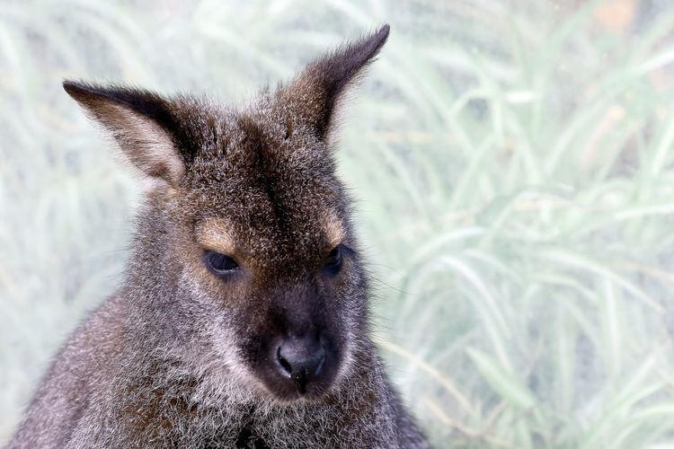 Close-up of wallaby