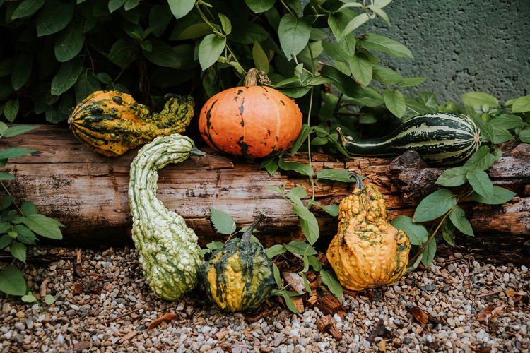 Pumpkins Kept On Tree Trunk Outdoors
