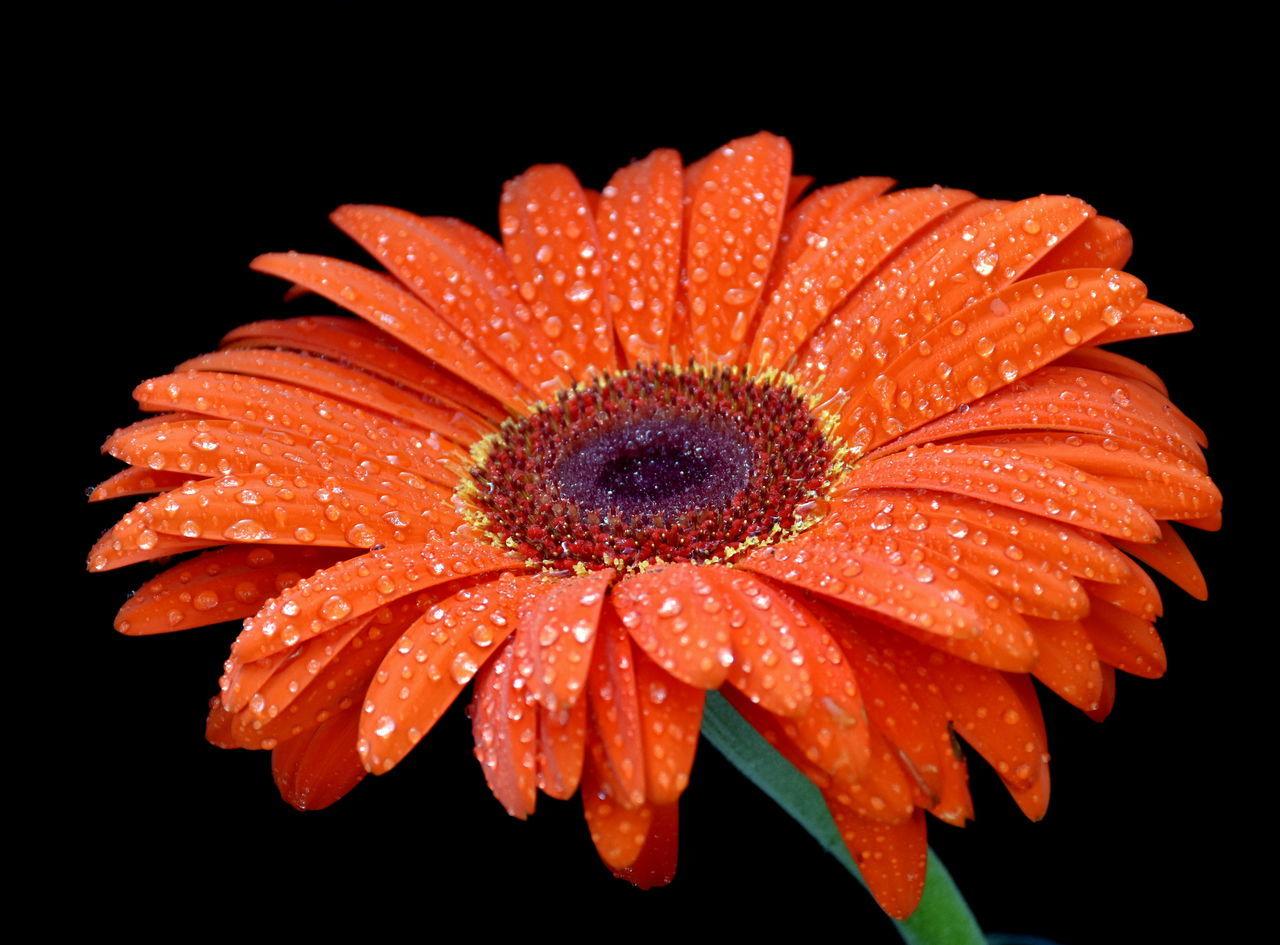 Close-Up Of Orange Flower Blooming Against Black Background