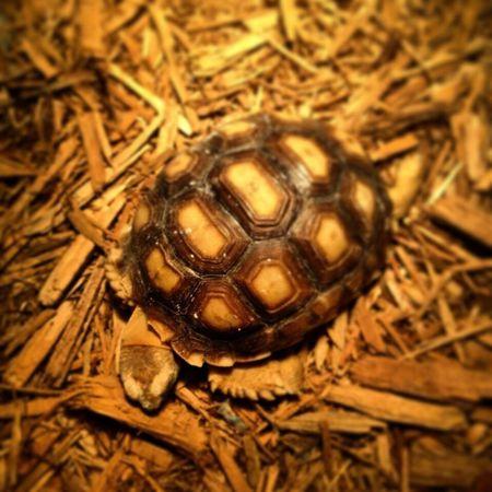 Close-up Animal Themes Zoology Surface Level Golden Sulcata Tortoise Animal Sleeping