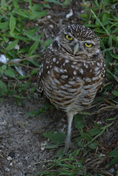 Animal Themes Bird One Animal Wildlife Animals In The Wild Owl Bird Of Prey Perching Looking At Camera Nature Zoology Beak Day Avian No People Cropped Florida United States Burrowing Owl Burrowing Owls