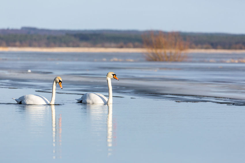 Animal Beauty In Nature Bird Bushes Close-up Cold Temperature Day Frozen Frozen Water Ice Ice Cream Landscape Nature Nature No People Outdoors Polderwiesen Reflection Swan Swans Swimming Tree Water Water Bird Winter