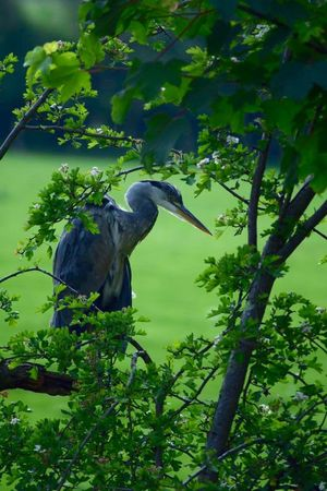 A heron surveying the canal in Gilwern, South Wales Gilwern Canal Heron Heron On The Canal Canal Hawthorne Blossom