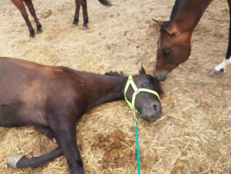 sleeping Sleeping Time Morgan Horse Sweet EyeEm Selects Human Hand Low Section Sport Close-up Livestock Working Animal Ranch Horse Pony