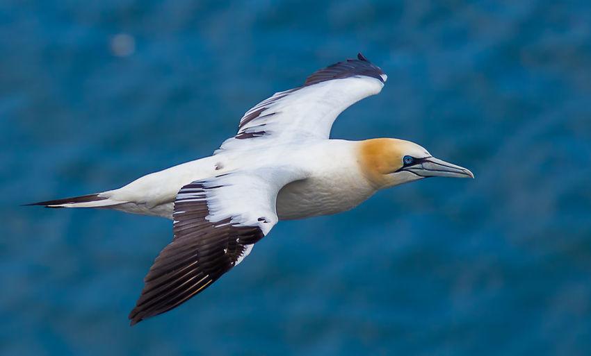 Gannet flying at sea