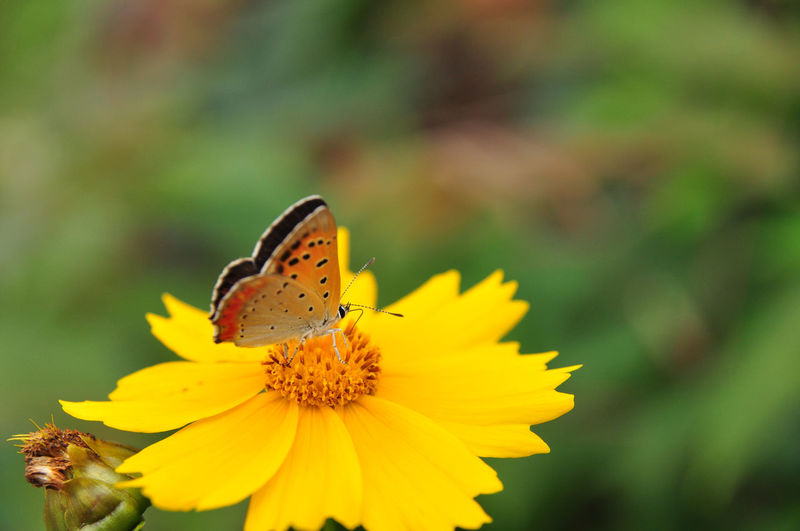 Animal Beauty In Nature Butterfly Close-up Closup Flowering Plant Oksk Photopackers Tiger Butterfly