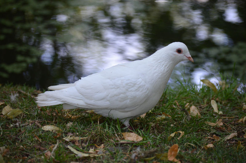 Close-up of white duck on land