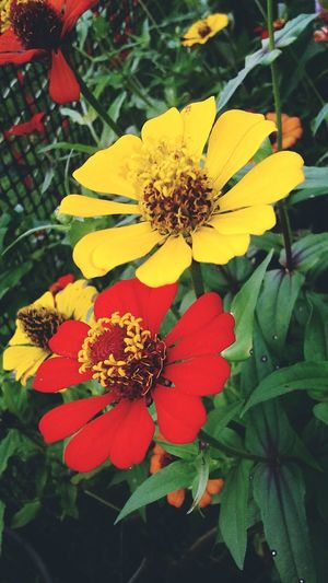 Flower Head Zinnia  Flower Yellow Leaf Petal Red Park - Man Made Space Close-up Blooming