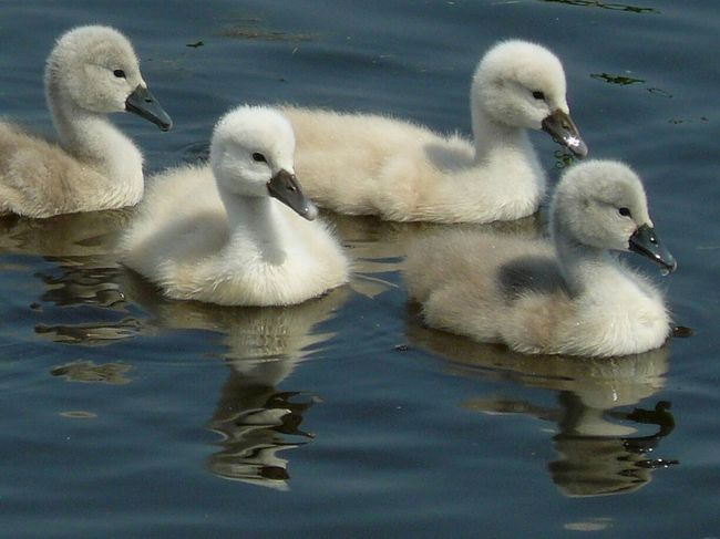 Swan Bird Water Swimming Togetherness Young Animal Lake Cygnet Young Bird Cute