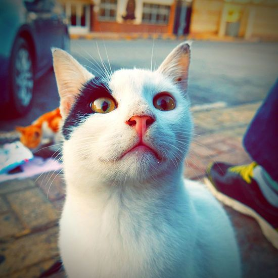 EyeEmNewHere Domestic Cat Pets Domestic Animals Feline Animal Themes One Animal Mammal No People Looking At Camera Day Portrait Business Stories