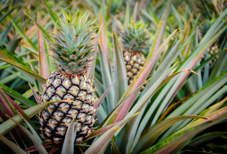 Close-up of fresh pineapple growing