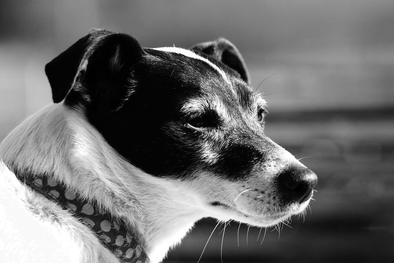 Growing old Growing Old Dog Jack Russell Dog Canine One Animal Mammal Animal Animal Themes Pets Domestic Animals Focus On Foreground Animal Head