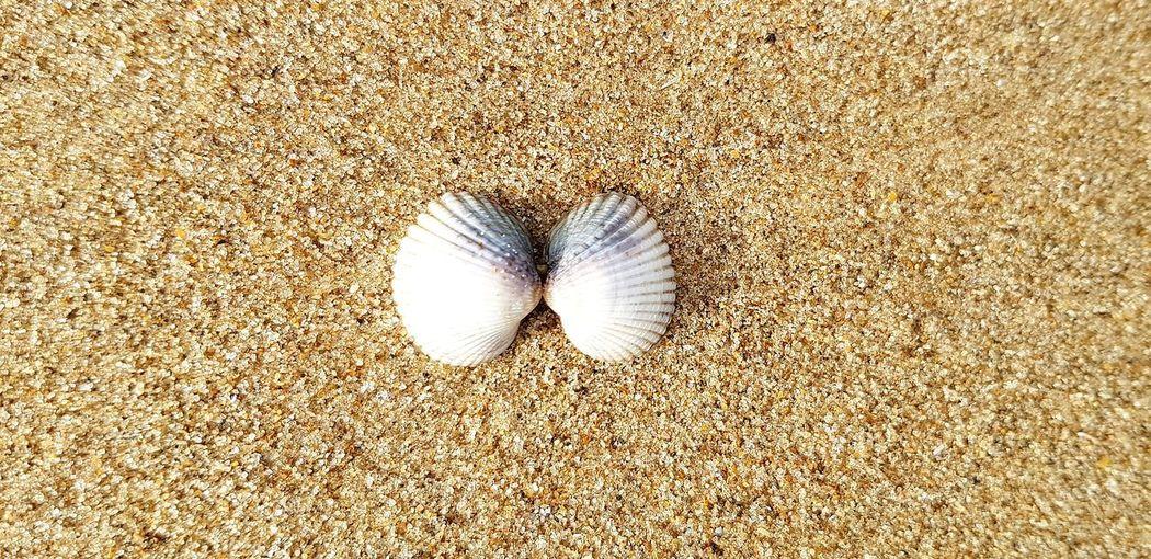 Shells Backgrounds Full Frame Textured  Seashell