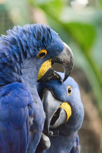 Hug Bird Animal Themes Animal Wildlife Beak Outdoors Close-up Parrot Parrots Beauty In Nature Zoom Zoodevincennes Paris Paris, France  No People Blue Contrast Nature Nature Two Animals Day EyeEm Animal Lover