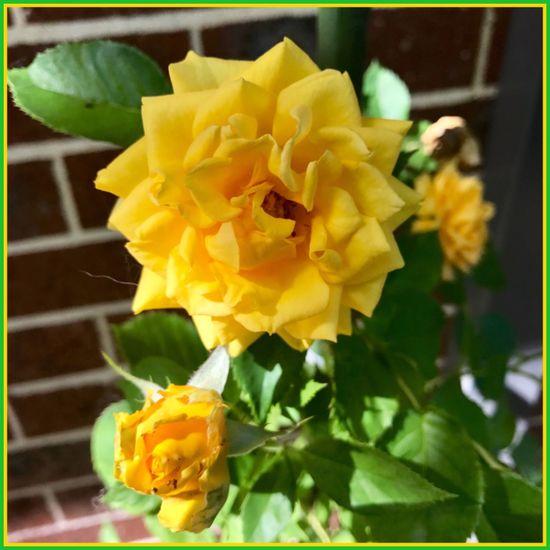 New Flower's just bloomed 🌼🍃🌼 Flower Flowers Yellow Flower Plants And Flowers Summerflowers Beautiful💕🌾 Blooming Flowerseries