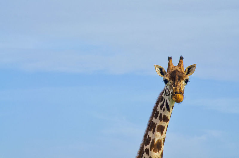 Portrait of giraffe outdoors