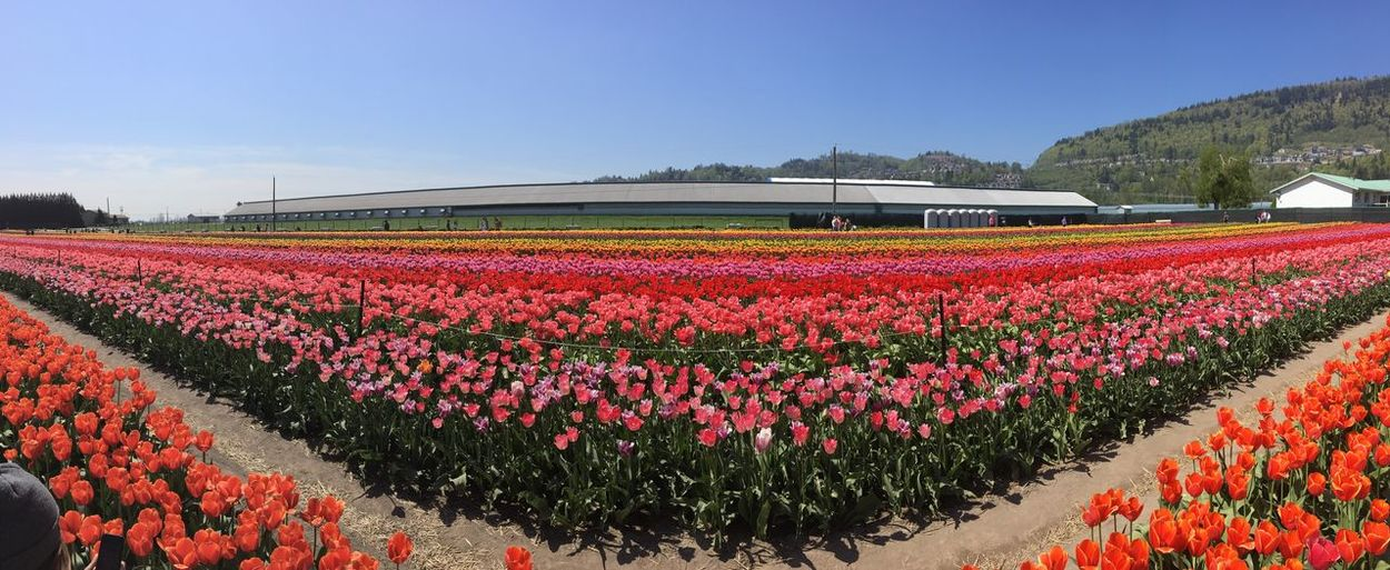 Tulips Tulip Plant Flowering Plant Flower Growth Beauty In Nature Freshness Nature Field Red Land Flowerbed Landscape Environment