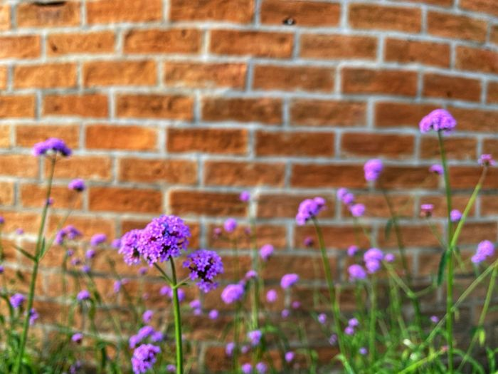 Close-up of purple flowering plant against brick wall