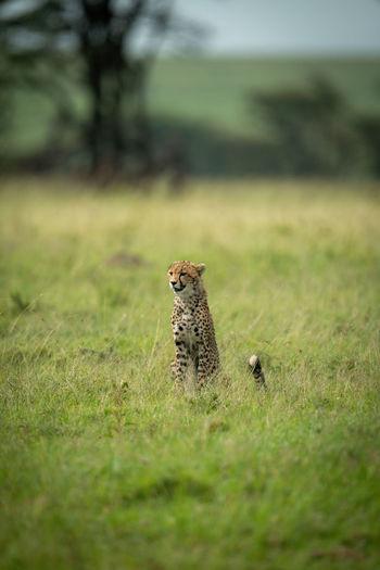 Cheetah cub sits in grass facing left