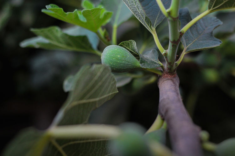 fig Morocco Food Morooco Agriculture Beauty In Nature Branch Close-up Day Fig Fig Tree Focus Food Freshness Fruit Green Color Growth Healthy Eating Leaf Nature No People Outdoors Plant Plant Part Plant Stem Selective Focus Tree