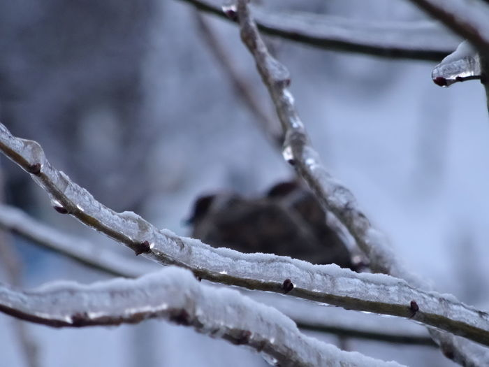 Birds on icy branvhes Ice Ice Branches Birds Branch Cold Temperature Frozen Icicle Snow Tree Weather Winter