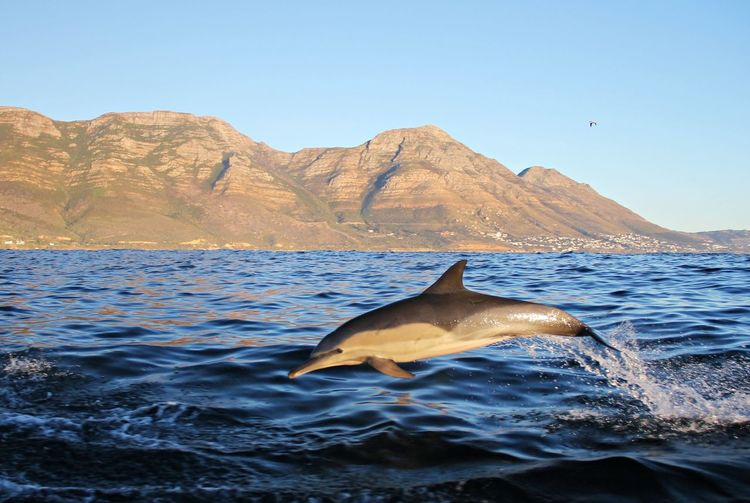 A common dolphin jumping out of the water in front of mountains on a sunny day