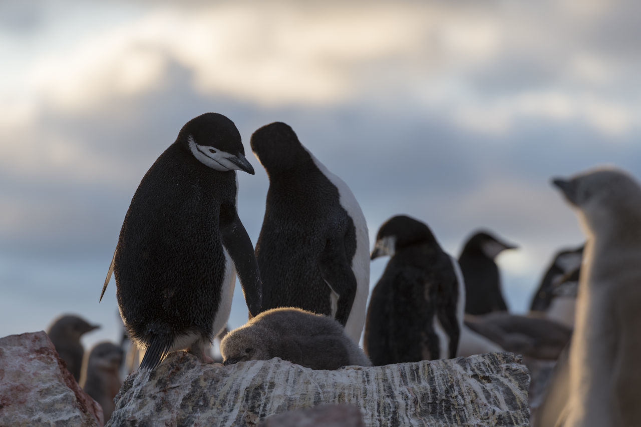 group of animals, bird, animal themes, animal, animal wildlife, animals in the wild, vertebrate, penguin, rock, rock - object, solid, nature, no people, focus on foreground, day, outdoors, togetherness, three animals, young animal, sea, animal family