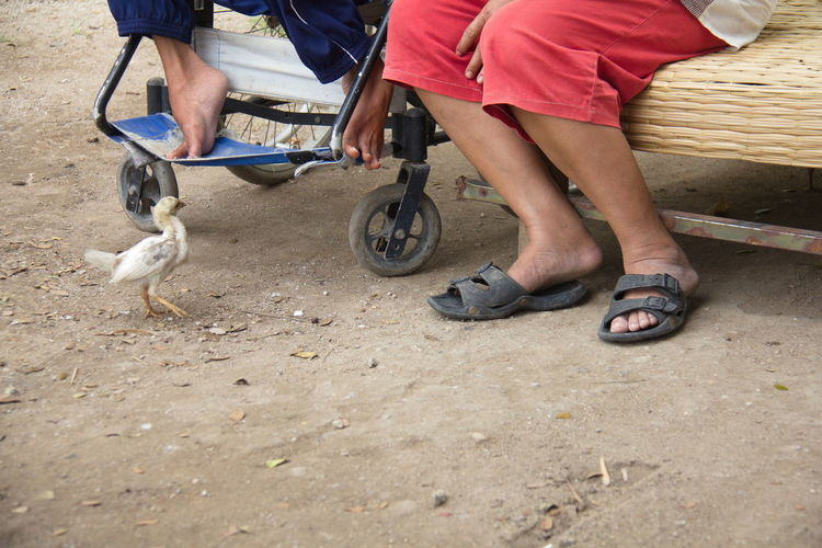 Cropped Image Of Men Sitting On Seat While Baby Chicken Standing At Field