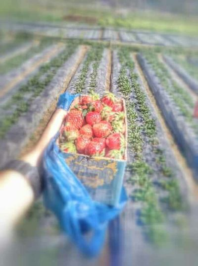 Everyday Joy Taking Photos Strawberries Strawberryfields Strawberryfarm Strawberrypicking Strawberrylove Simplejoysoflife