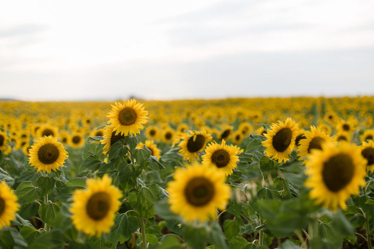 Field of sunflowers Provence Beauty In Nature Flower Flower Head Flowering Plant Landscape No People Outdoors Sunflower Valensole