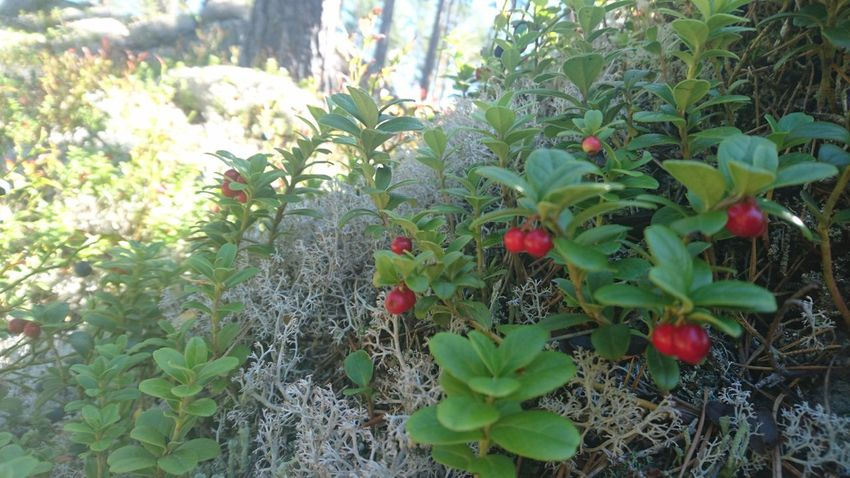 Lingonberries Lingonberrysprig Picking Berries Forest Photography Forest Middle Of Sweden Nature Photography Nature_collection Nature Taking Photos Hanging Out Enjoying Life