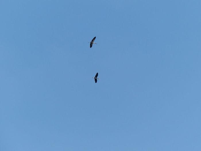 Flying heron in