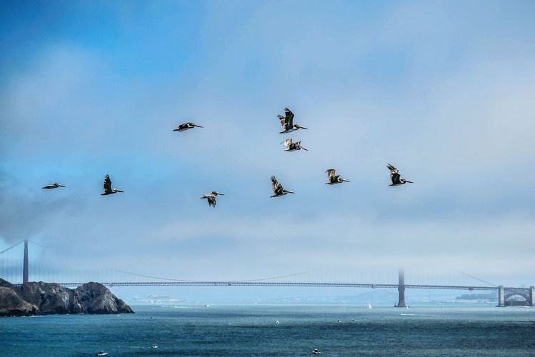Brown Pelicans Flying Flying Birds GoldenGateBridge San Francisco California EyeEm Selects Bird Flamingo Flying Water Beach Sea Airshow Flock Of Birds Sky Animal Themes