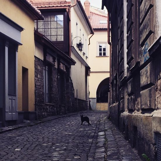 Cat Bielsko-Biała Bielsko Poland Silesia Beskidy Beskidżywiecki Old Town Cobblestone Building Exterior Architecture Street Built Structure One Animal Animal Themes Outdoors Alley Day The Way Forward City Pets No People Full Length Bird Mammal